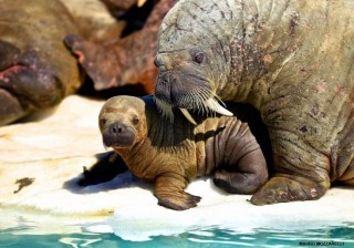 FAA protection of baby walruses